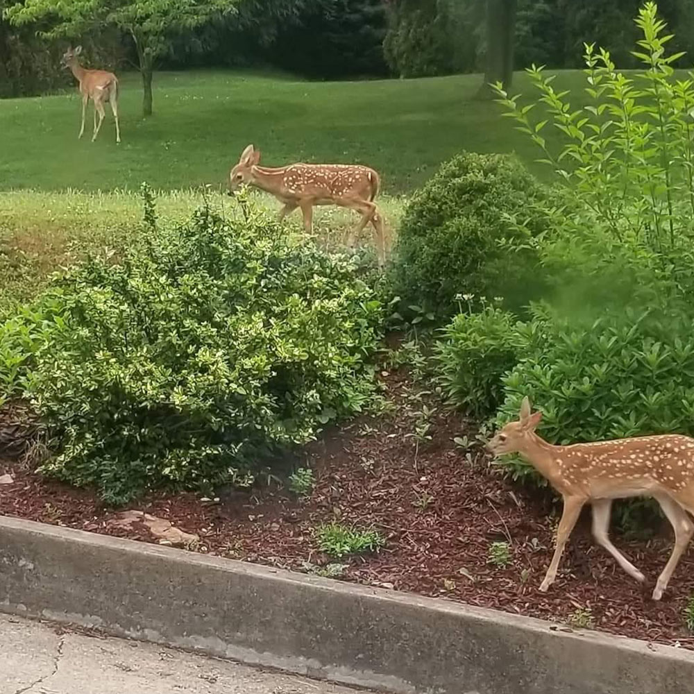 """This week's Pet Pals aren't pets, just a majestic mama deer followed by her curious twins. In this picture captured by Carter and Vincent of Pittsburgh, PA, you can almost hear Mom saying, """"Come on, you two ... quit dawdling!"""" as they make their way through the backyard."""