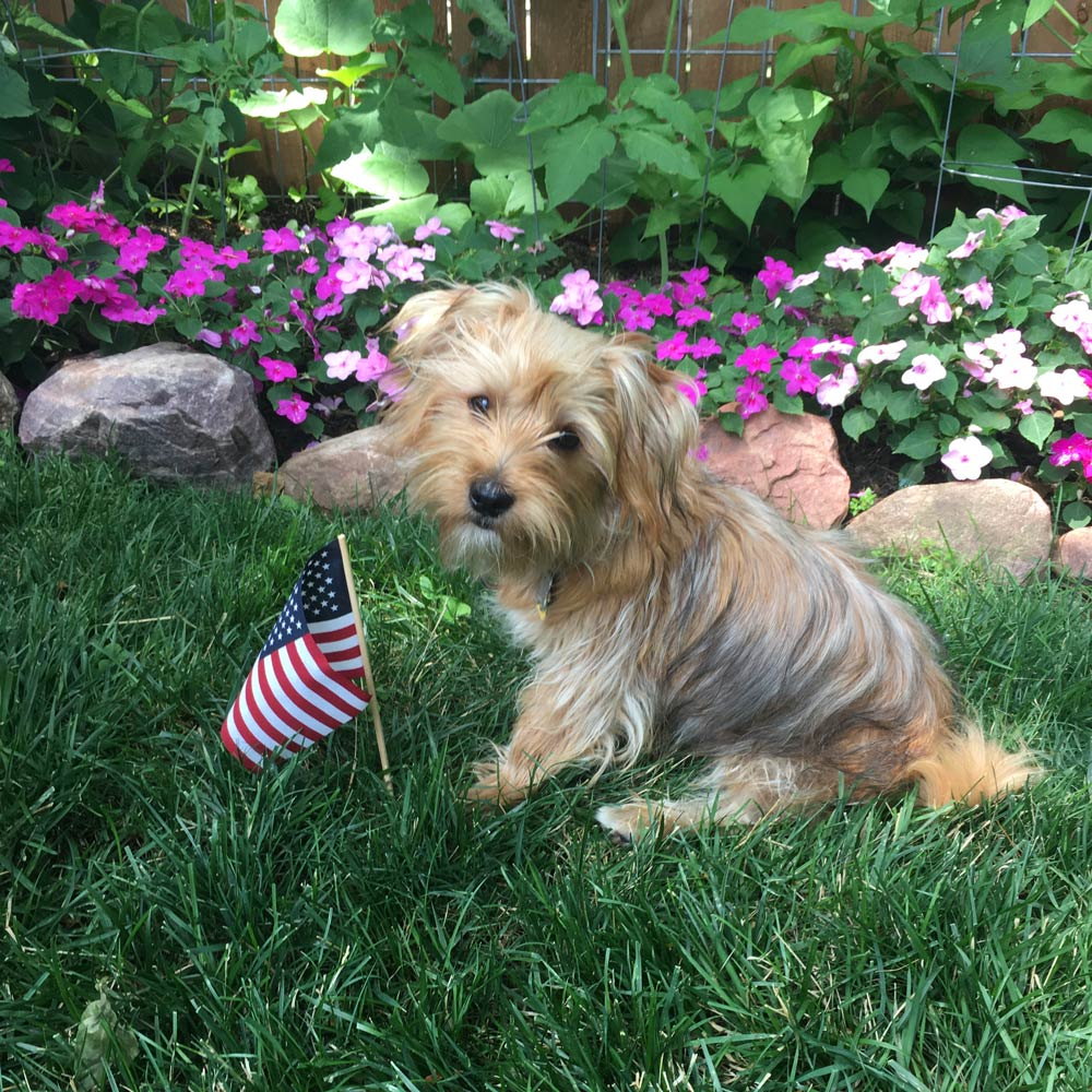 """Michelle and Dave T. in Omaha, NE sent a picture of their six-month-old Morkie Freddie, celebrating his first Fourth of July. He is friendly and playful, and he LOVES everyone! He even tolerates his rabbit """"brother"""" Mopsy."""