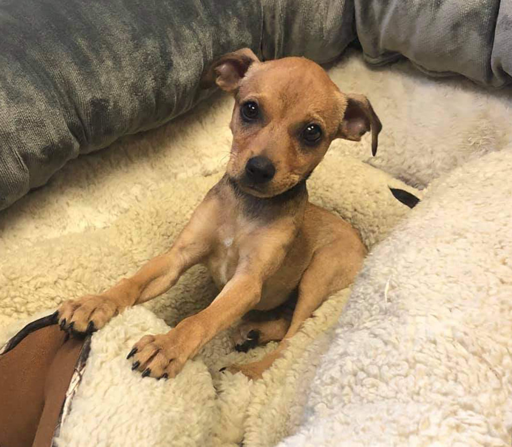 Meet Penelope. She's a darling Chihuahua who was found as a stray.