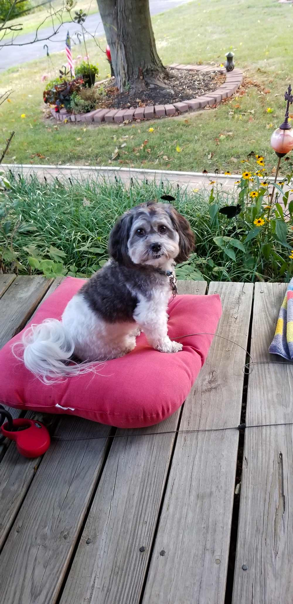 Meet Cooper. He's a King Charles and Shih Tzu blend, and Mom says he's a true joy: he really does think he's King! He looks happy sitting on his pillow outside on a crisp fall day.