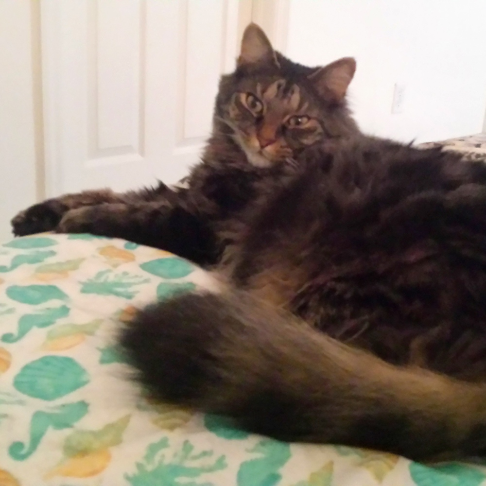 Darla H. in Punta Gorda, FL sent a picture of her cuddle boy, her beautiful brown, long-haired cat, Sneaky Pete.