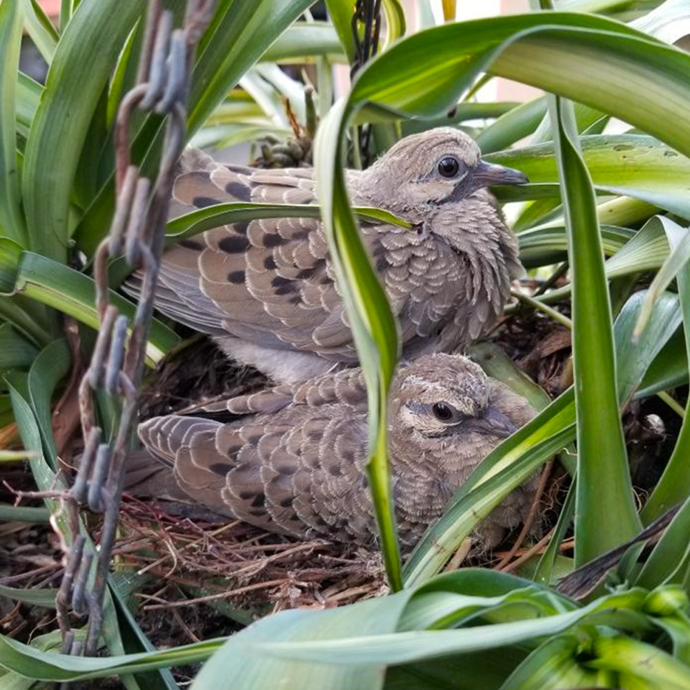 Dear Heloise: A pair of Mourning Doves built a nest in a hanging plant on my sister's deck.