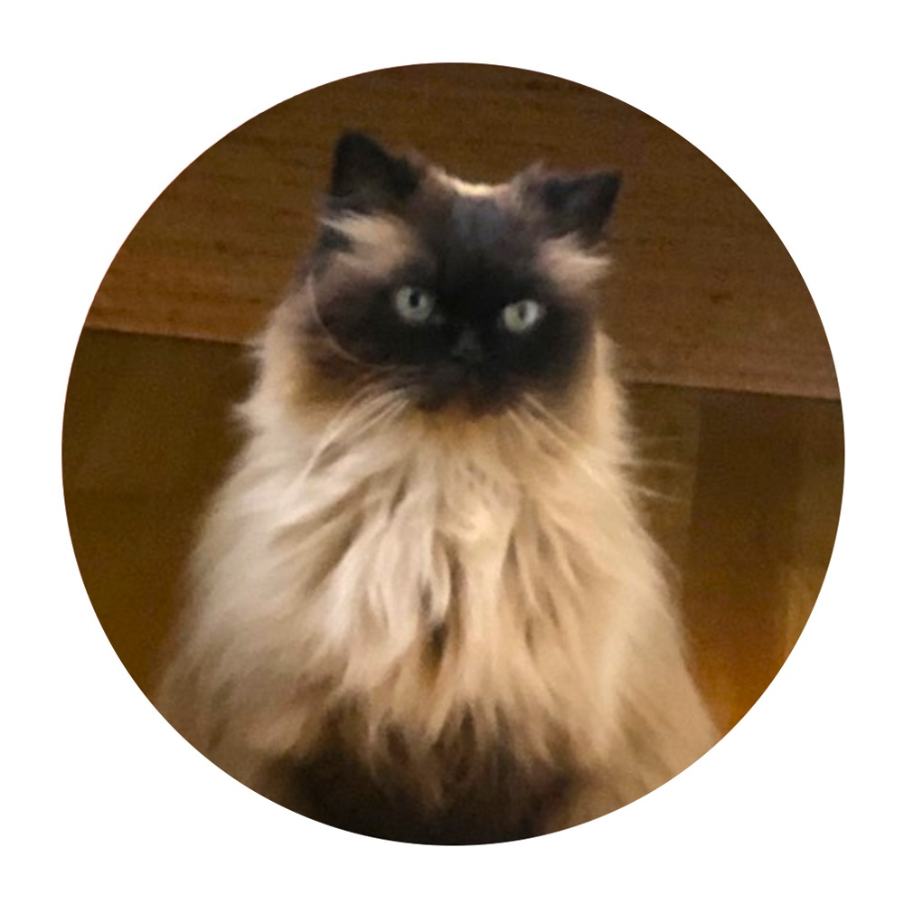 My name is Cosmos! I'm a 15-year-old Himalayan in Portland.