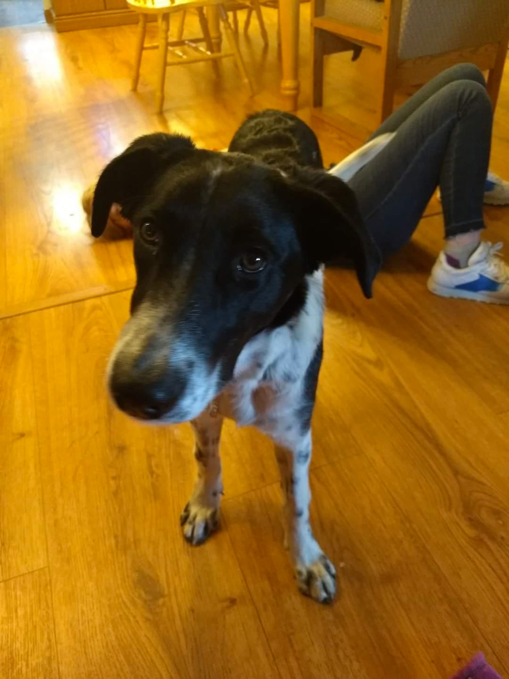 Meet Pepsi. Pepsi is a spaniel/pointer mix, and her name at the shelter was Hiker; she almost hitchhiked a ride home with another lady, before Tracy, Elise, and Joanna C. and their family adopted her!