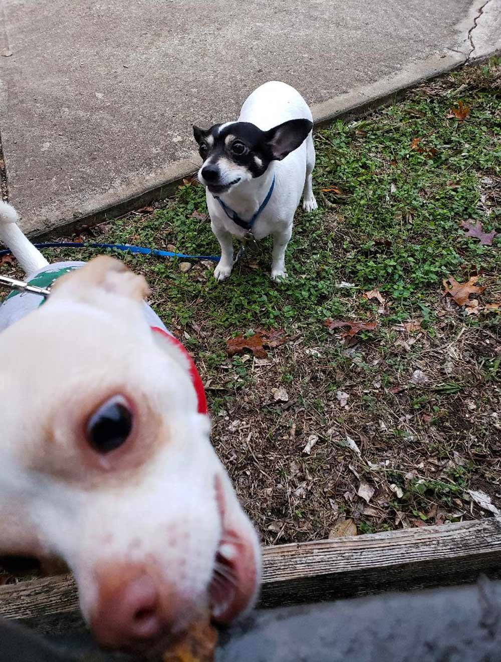 Meet LuLu (foreground) and Duncan. Both Rat Terriers, are taking turns receiving treats from the neighbor in the next complex. Very patient playmates!