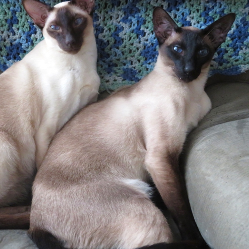 Here is a picture of our two Siamese, Hamish who is a chocolate point, and Angus, a seal point enjoying a winter day in the recliner.