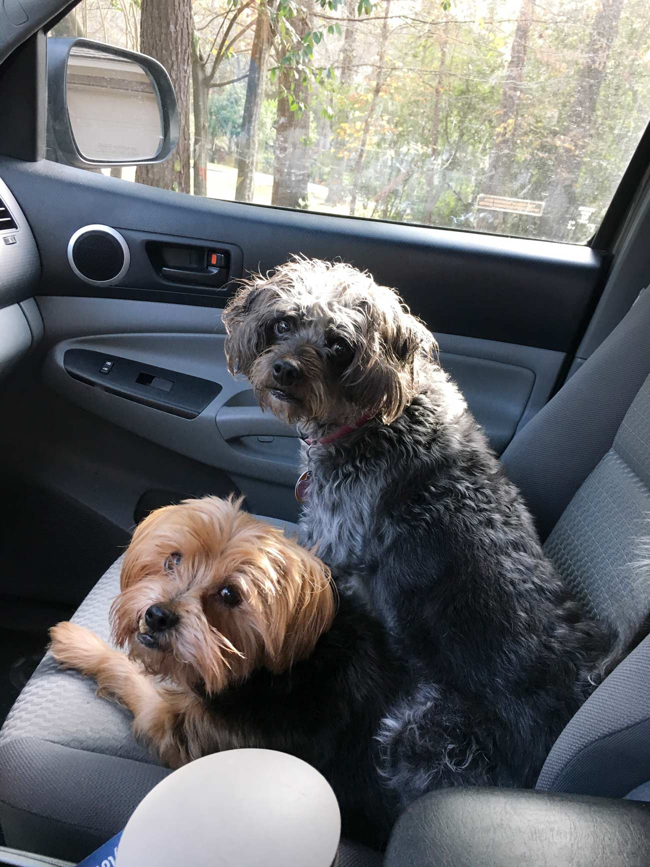 """Meet Manny and Penny! All dog mom Peggy Z. needs to say is """"who wants to go for a ride?"""" and open the door."""