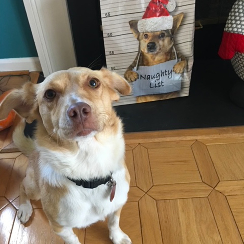 Meet Angie C.'s Run Away Ruby. Two days after she adopted Ruby, in September of 2020, Ruby escaped from the yard and traveled two miles before being picked up by the police. For this, Ruby landed on Santa's Naughty List!