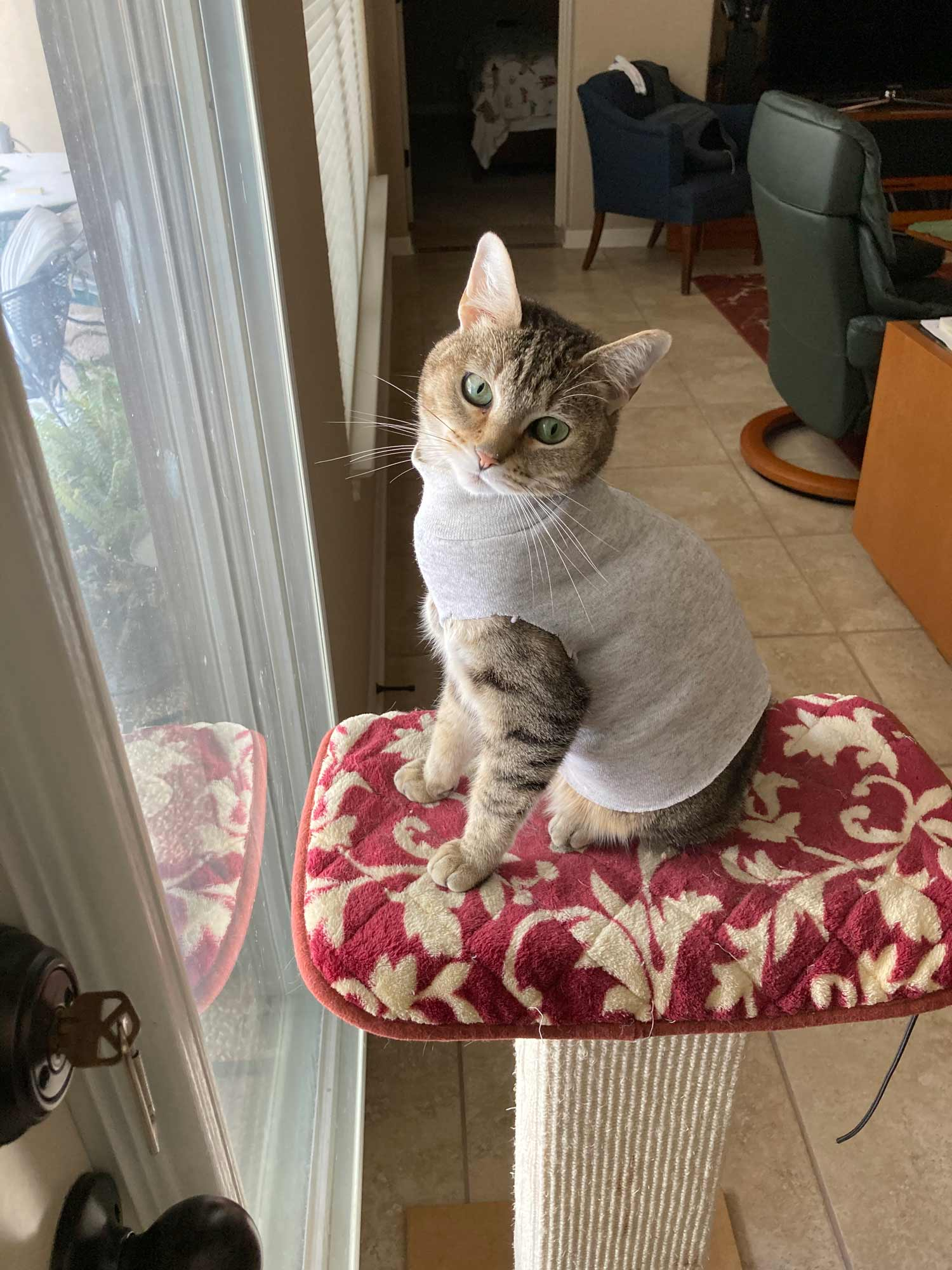 Meet Abby the Tabby, perched and ready for bird watching in her cute sweater. A cat in clothes!