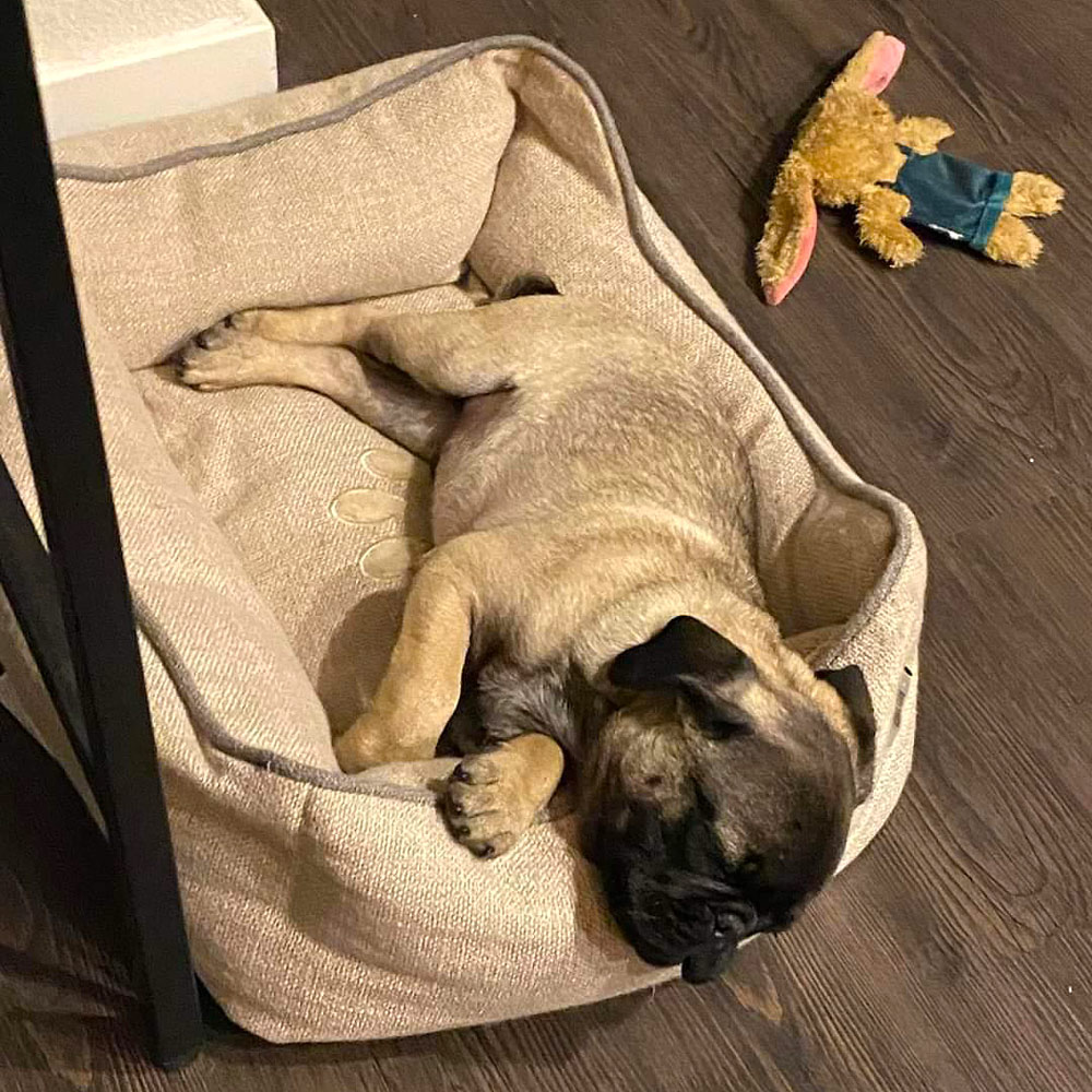 Meet Brodie. He's a pug puppy – a crazy Lil dude – according to San Antonio, TX dog mom Jessica and her son Gavin.