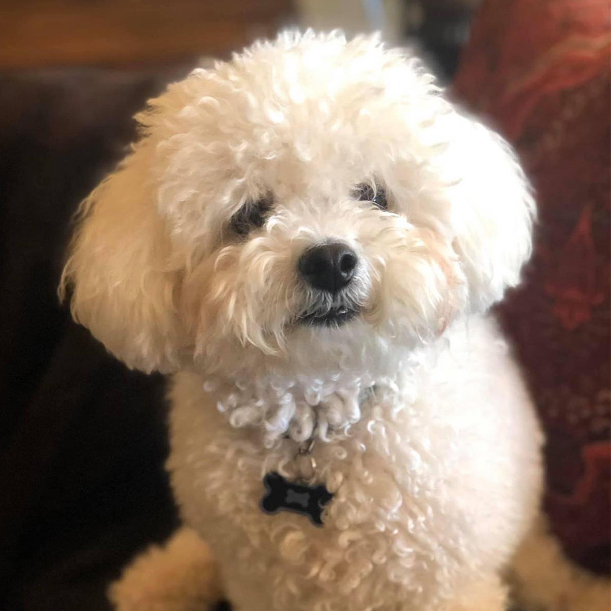 Meet Karen G. from San Antonio, Texas and her almost-five-year-old Bichon Frise, Tucker! Her family has a long-standing tradition of loving Bichons; in fact her father the Colonel brought in the first of their Bichons.