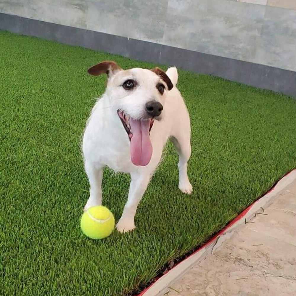 Meet Rocky. He's Rod G. of San Antonio's 14-year-old deaf rescued Jack Russell. Rod says he's a happy little guy, and they have helped each other through some tough times.