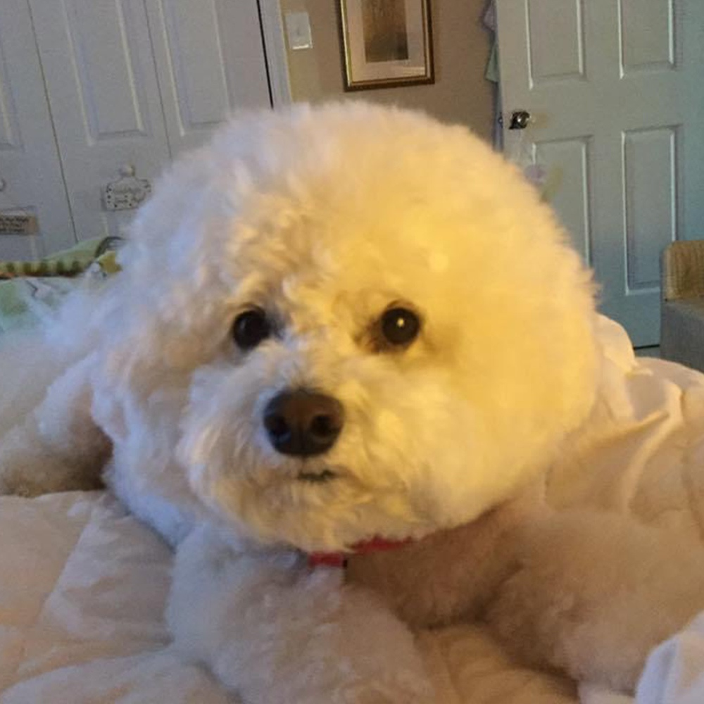 This is our Sadie Mae (named after Sadie Hawkins day), a 7-year-old Bichon Frise whom we love dearly.