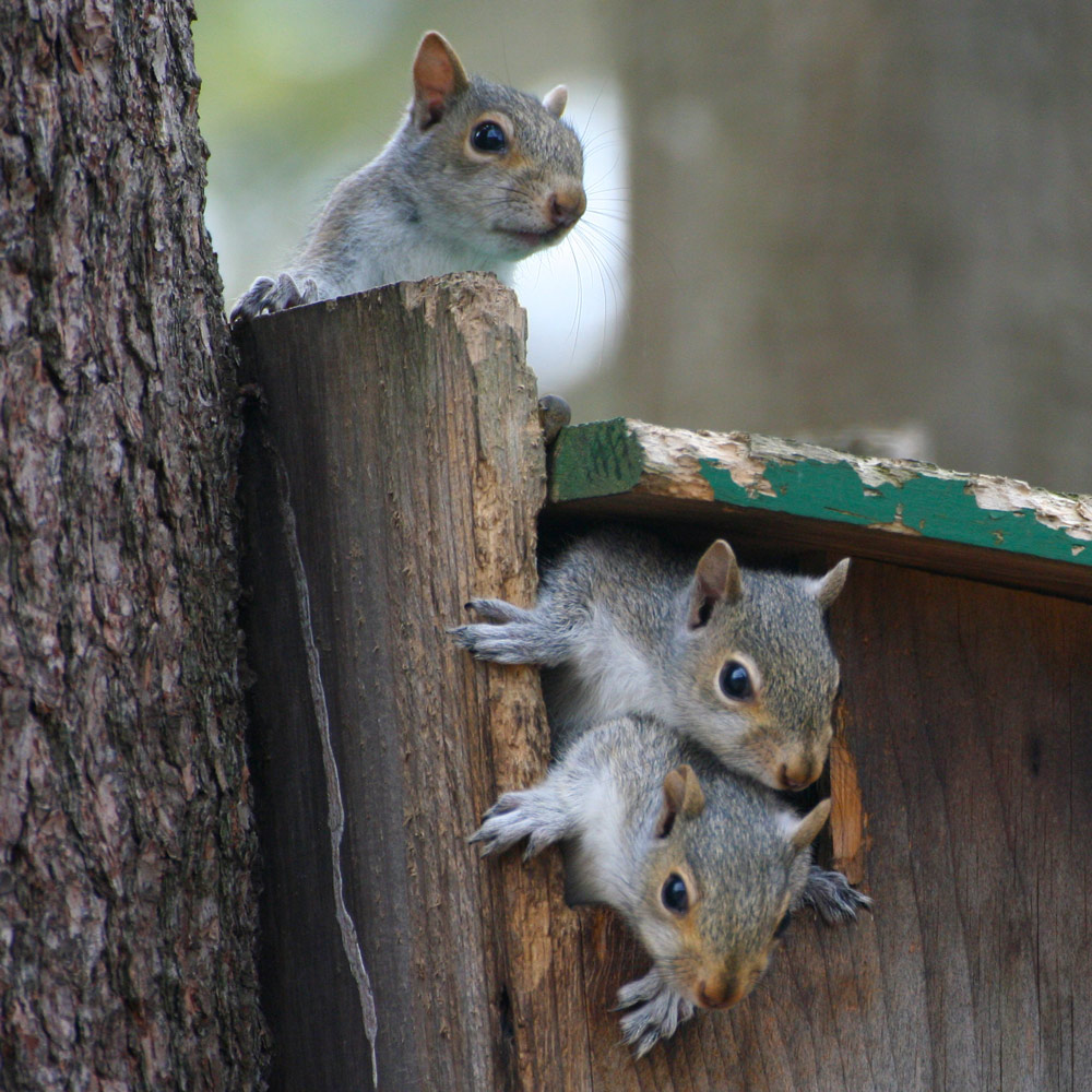 Baby squirrels in our Squirrel House