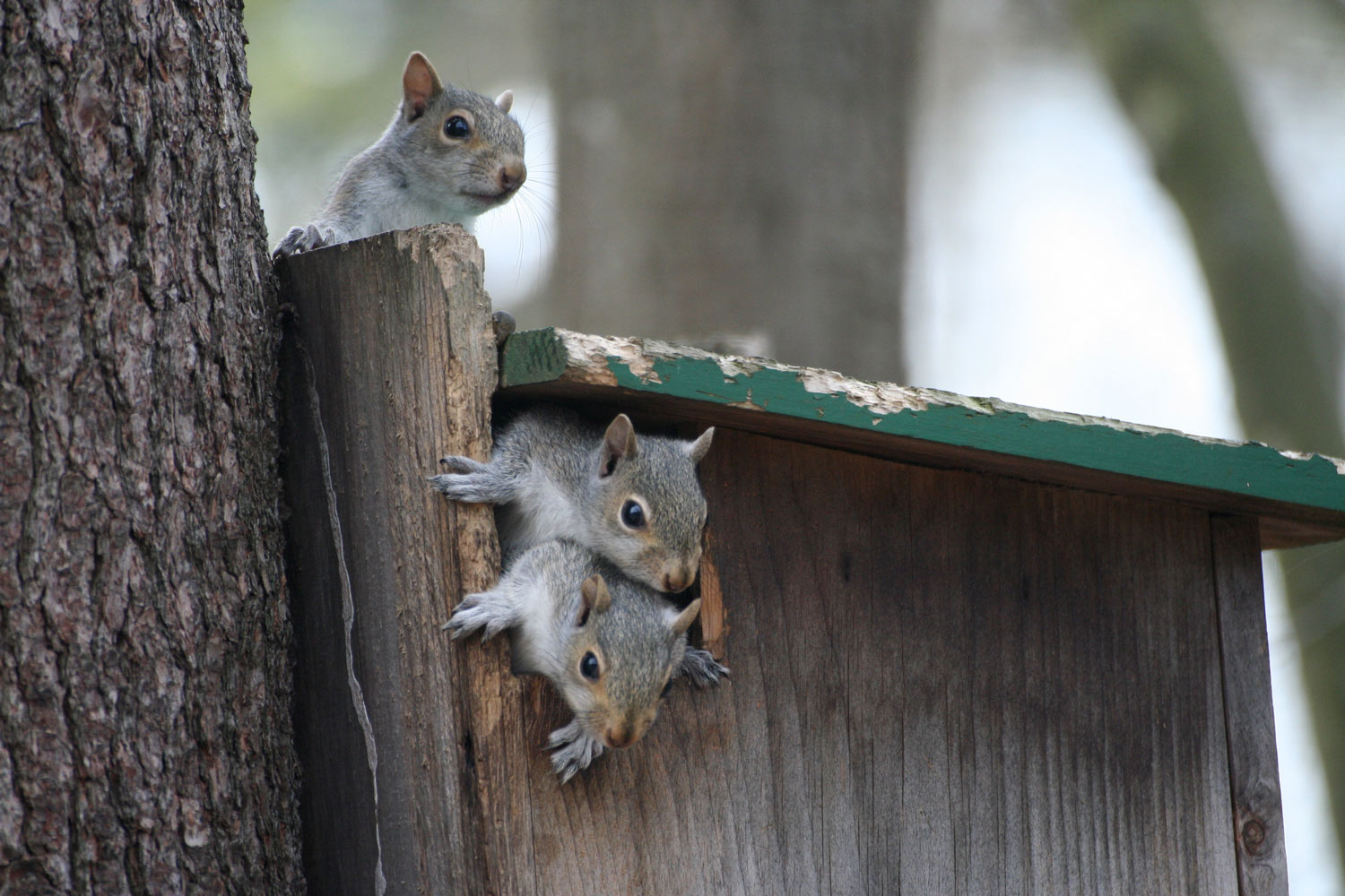 Baby squirrels climbing the Squirrel House.