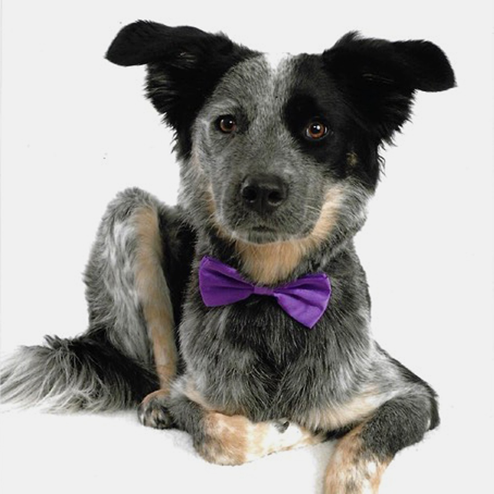 """This is Milo, a blue heeler/Aussie shepherd rescue from Oklahoma. This was his """"official"""" photo for a Cutest Pet Contest fundraiser for the local ASPCA. He won first place! We think it was the ears that put him over the top."""