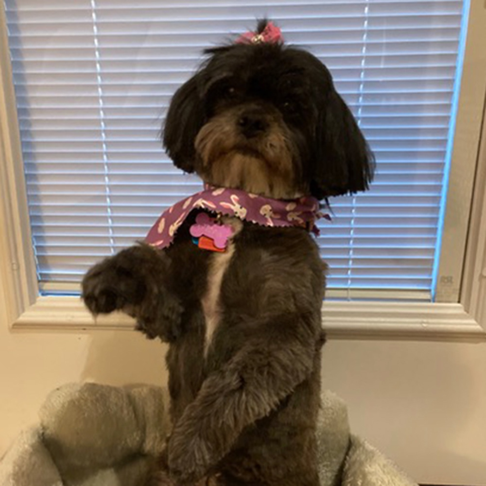 """This is Pippa, our grand-dog, in the pose she does when she wants a belly rub or special treat. She's ten-years-old. Our daughter has had her for about nine months, but she is """"family"""" to all of us. She's a Lhasa Apso. Love your column! – Judy Kaufman"""