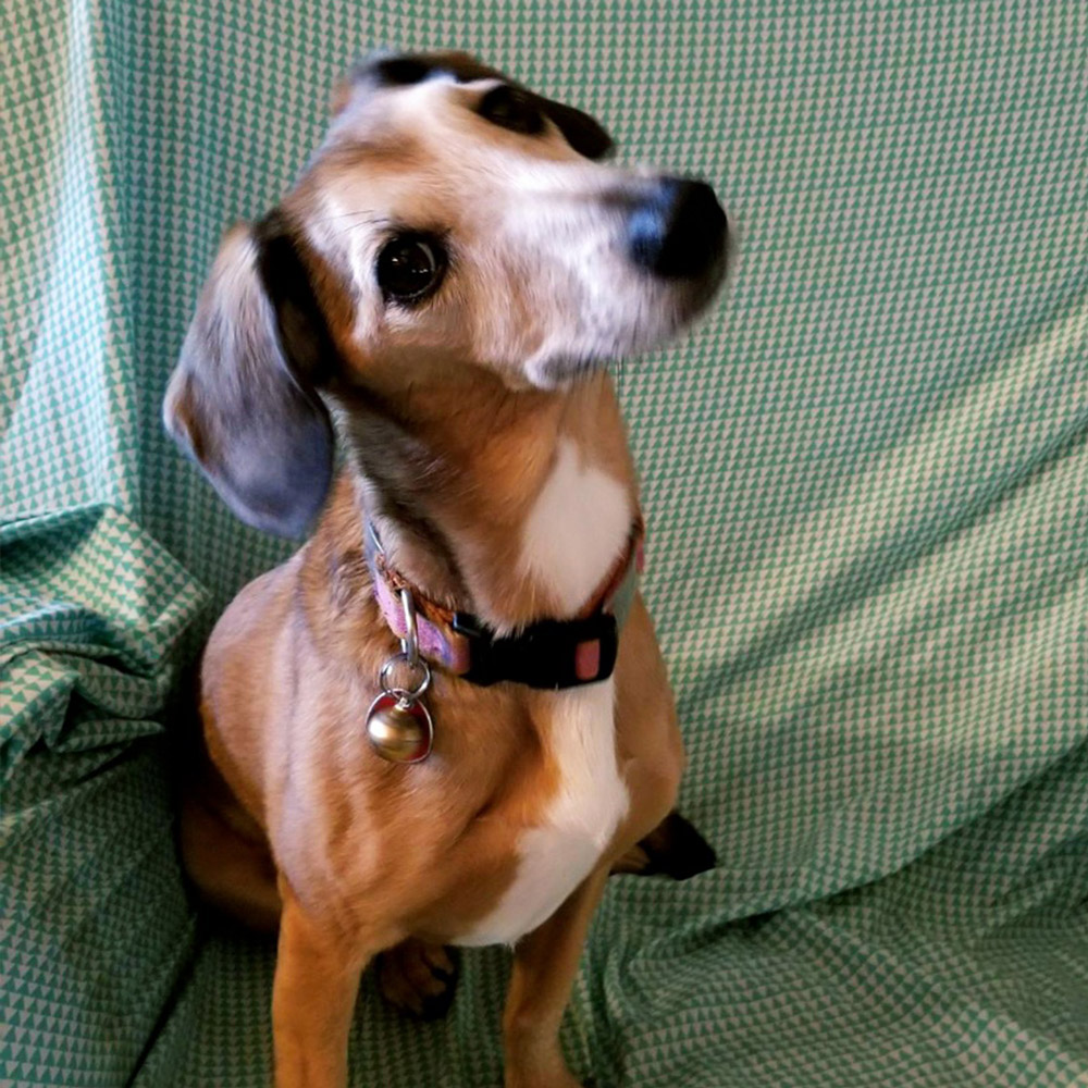 Jay and Dotty sent a picture of their perfectly blended, ten-year-old Jack Russell and Mini Dachshund, Clio. Clio, Dotty says, is a Pure American Brown Dog!