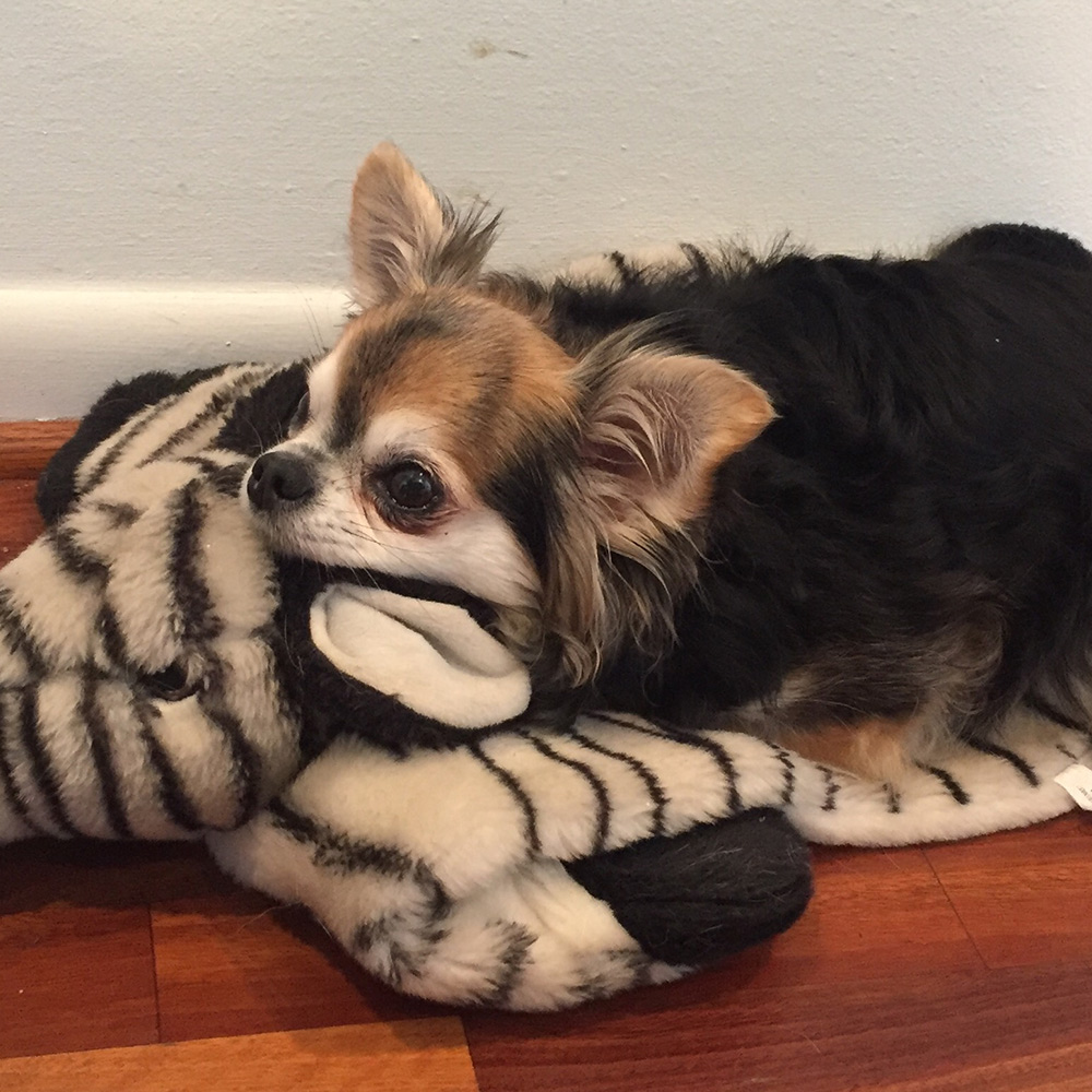 Sharon B. in Houston, TX sent a picture of her brown and black, long-haired Chihuahua, Angel, resting on top of her snuggly toy zebra – too cute!