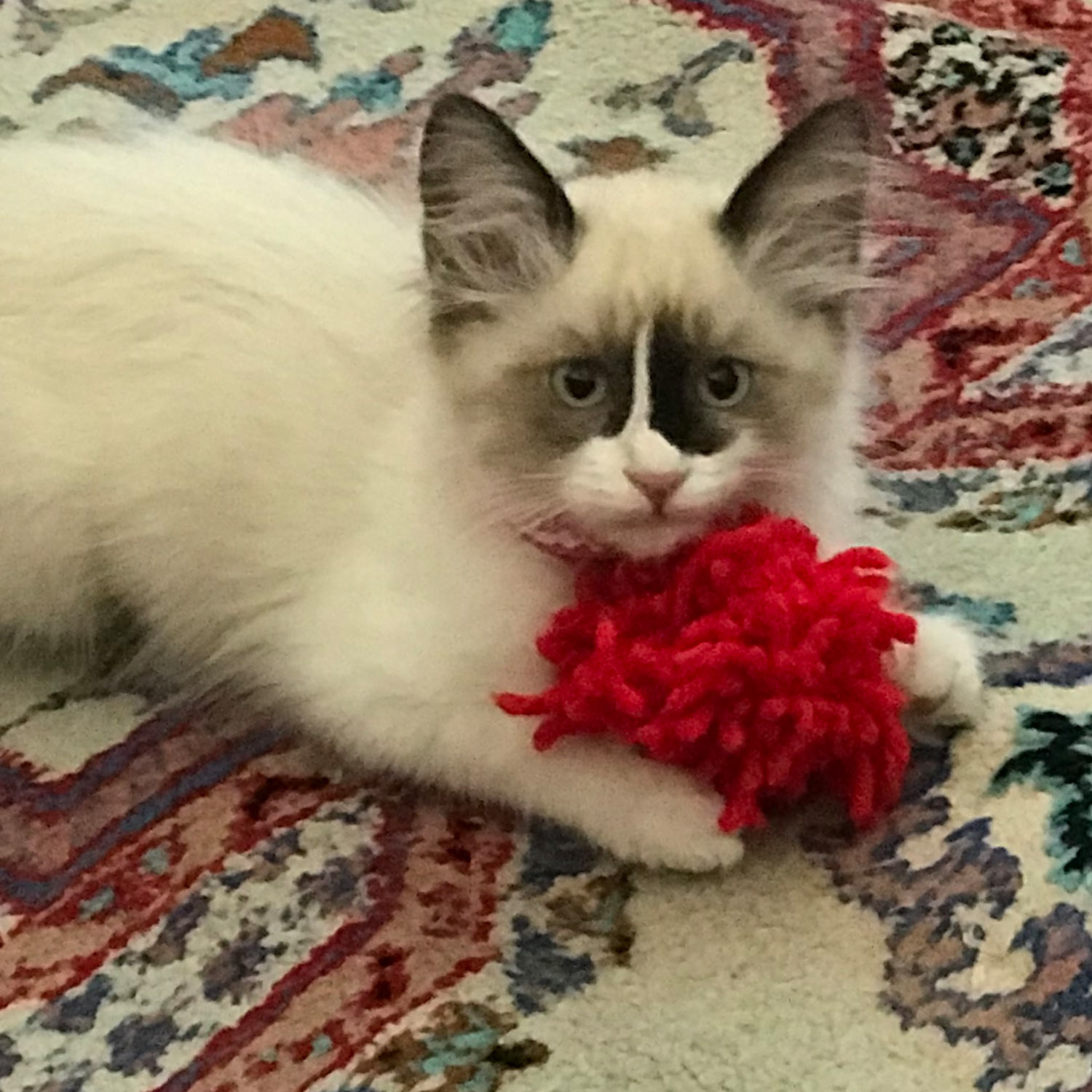 """Trina S. shared a picture of her kitten """"Smudgie"""", adopted from Animal Care Services in Long Beach, California. Smudgie loves her red yarn toy."""