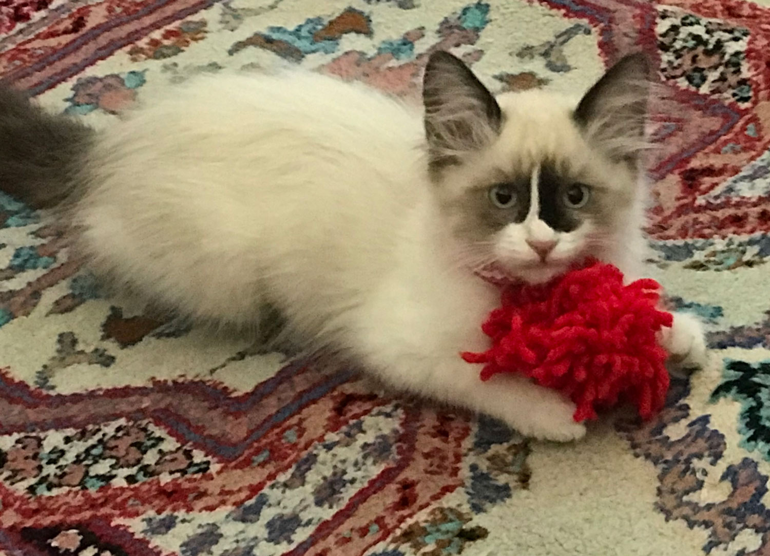 """Trina S. shared a picture of her kitten """"Smudgie"""", adopted from Animal Care Services in Long Beach, California. Smudgie loves her red yarn toy"""