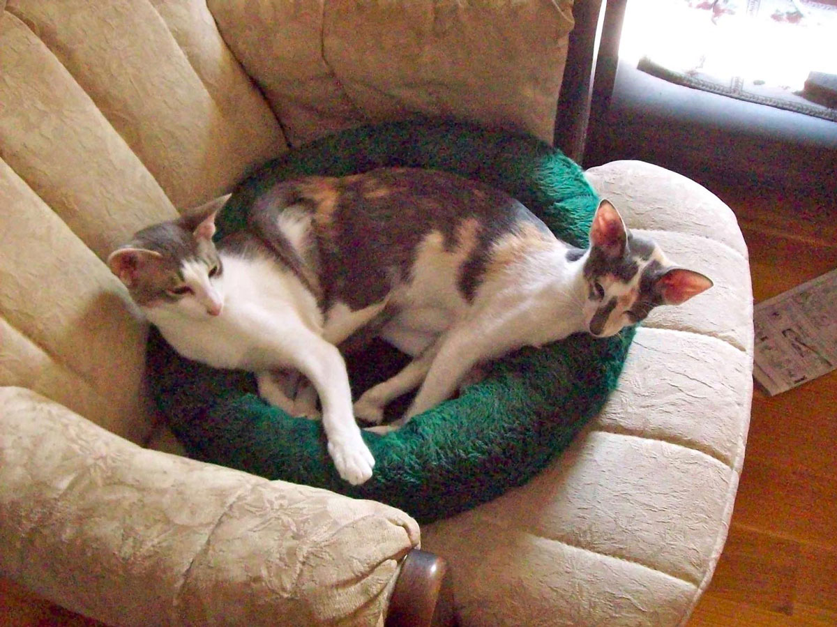 Susan K. in Rochester, NH sent a picture of her two Oriental Shorthair cats, Chloe and Dora, who appear to have merged into one.