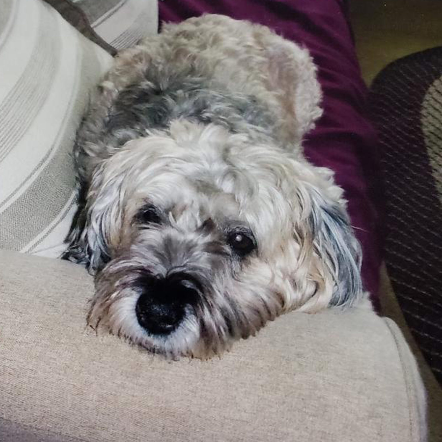 Marilyn M. in Manchester, NH sent a picture of her Chloe relaxing on the couch.