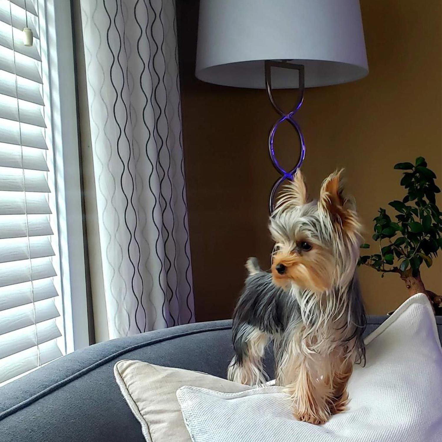 Daniel C. sent a picture of his stunning one-year-old Yorkshire Terrier Pancho on the couch, his favorite spot, looking out the window.
