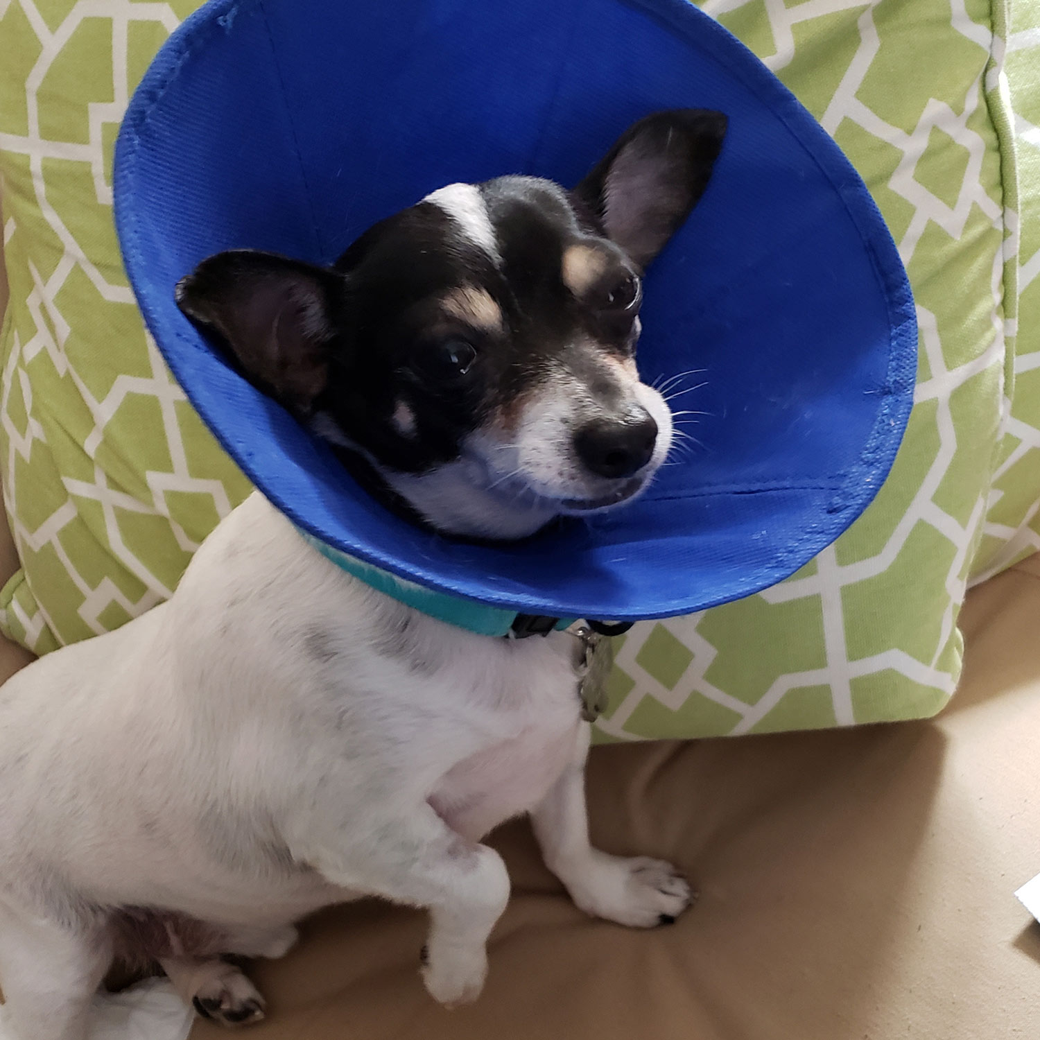 """Duncan, a Pet Pal alum, is back after having his teeth professionally cleaned. He's wearing the """"Cone of Shame"""" so he won't scratch his mouth. Pro cleanings are important to keep the mouth and teeth healthy."""