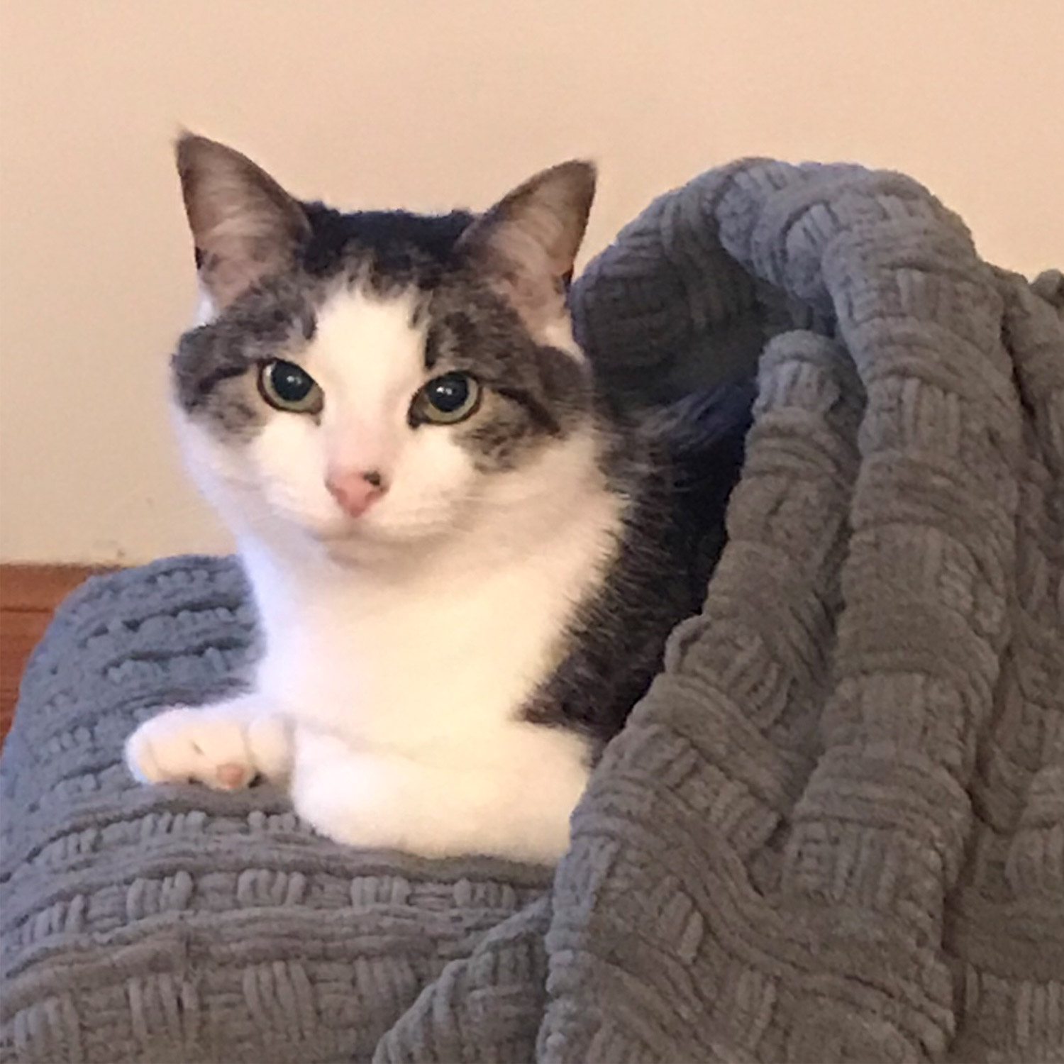 Fran B. in Manchester, NH sent a picture of Noah,her seven-year-old grey and white cat. Fran says he loves to snuggleand is shown snuggled into one of those new pita pocket style beds.