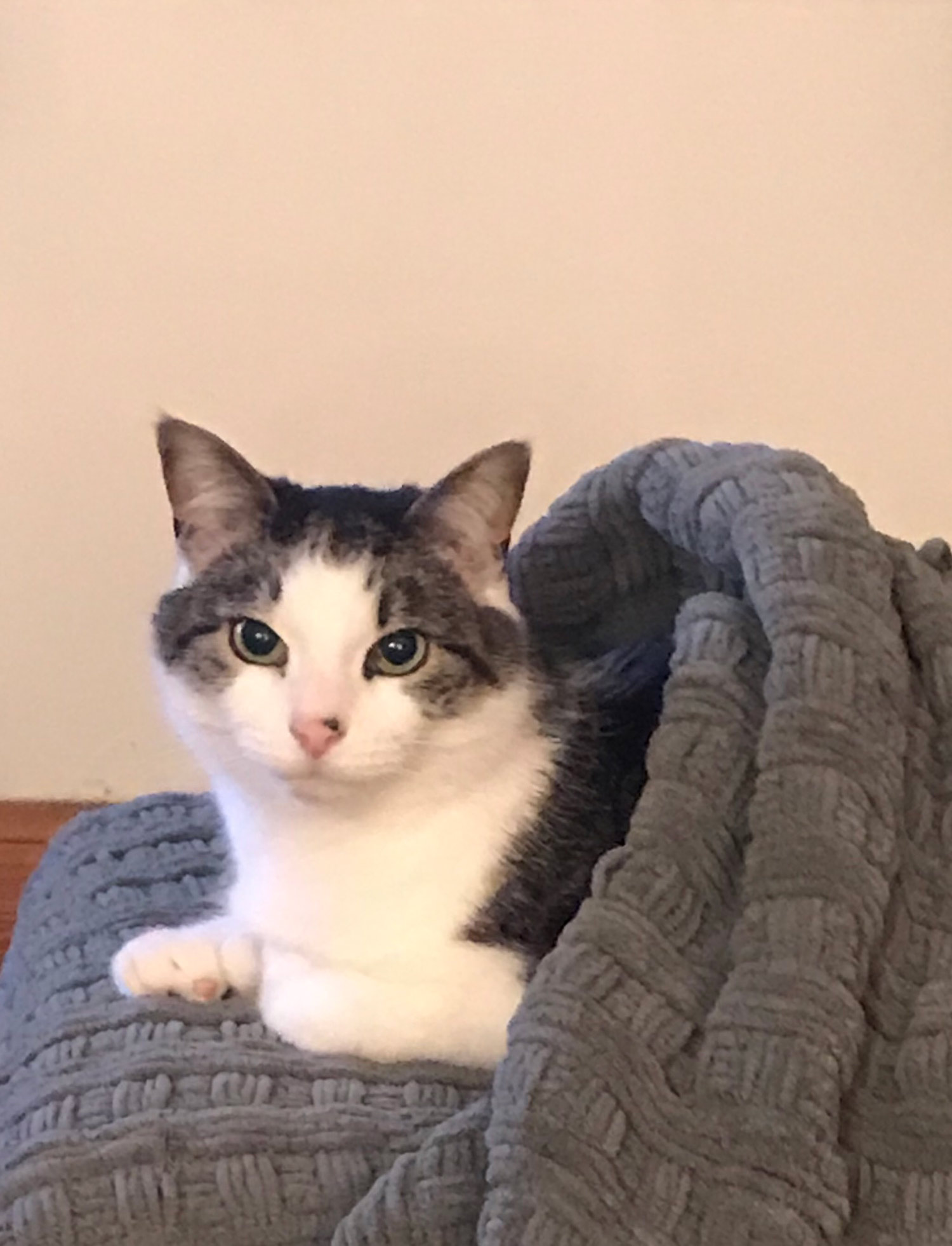 Fran B. in Manchester, NH sent a picture of Noah, her seven-year-old grey and white cat. Fran says he loves to snuggle and is shown snuggled into one of those new pita pocket style beds.