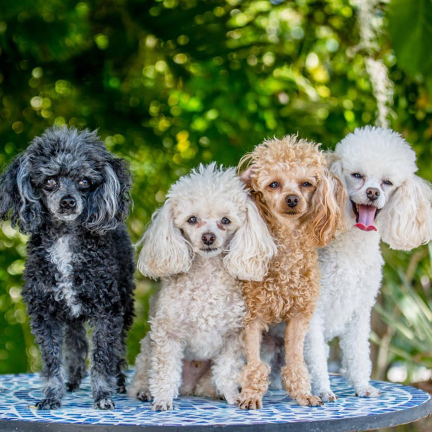 Sheila and Eric N. emailed a picture of theirfamily of four teacup poodles, from left to right: Shaker, Martini, Margarita, and Salt! More thanone is always fun! They live in Venice, FL.