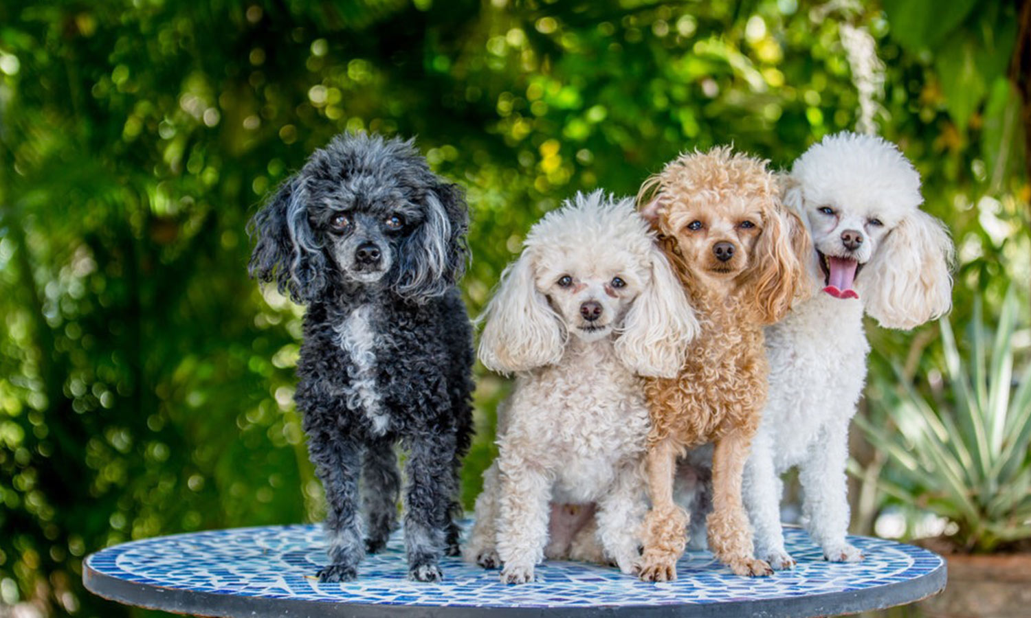 Sheila and Eric N. emailed a picture of their family of four teacup poodles, from left to right: Shaker, Martini, Margarita, and Salt! More than one is always fun! They live in Venice, FL.