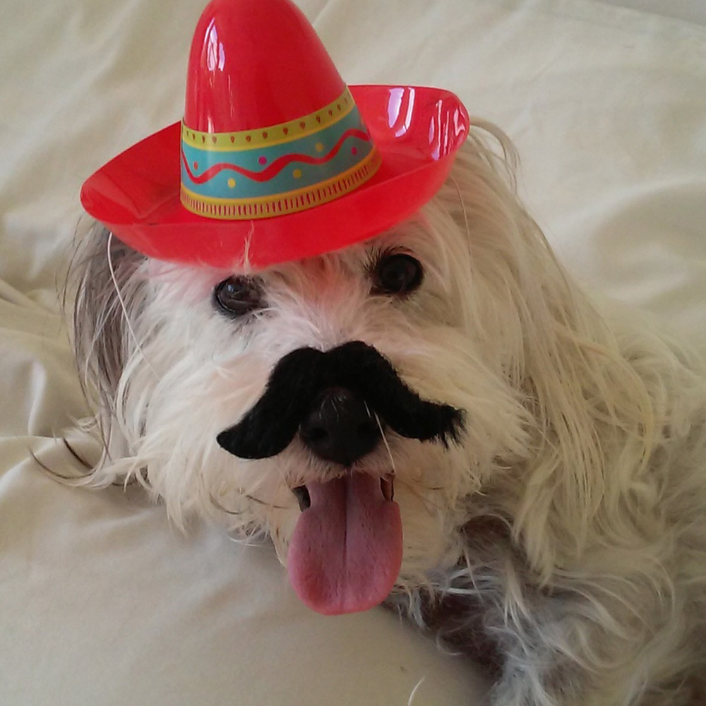 Meet Fuzzy. Joanne G. emailed a picture of her little white long-haired terrier Fuzzy, all dressed up for Cinco de Mayo, complete with a sombrero!