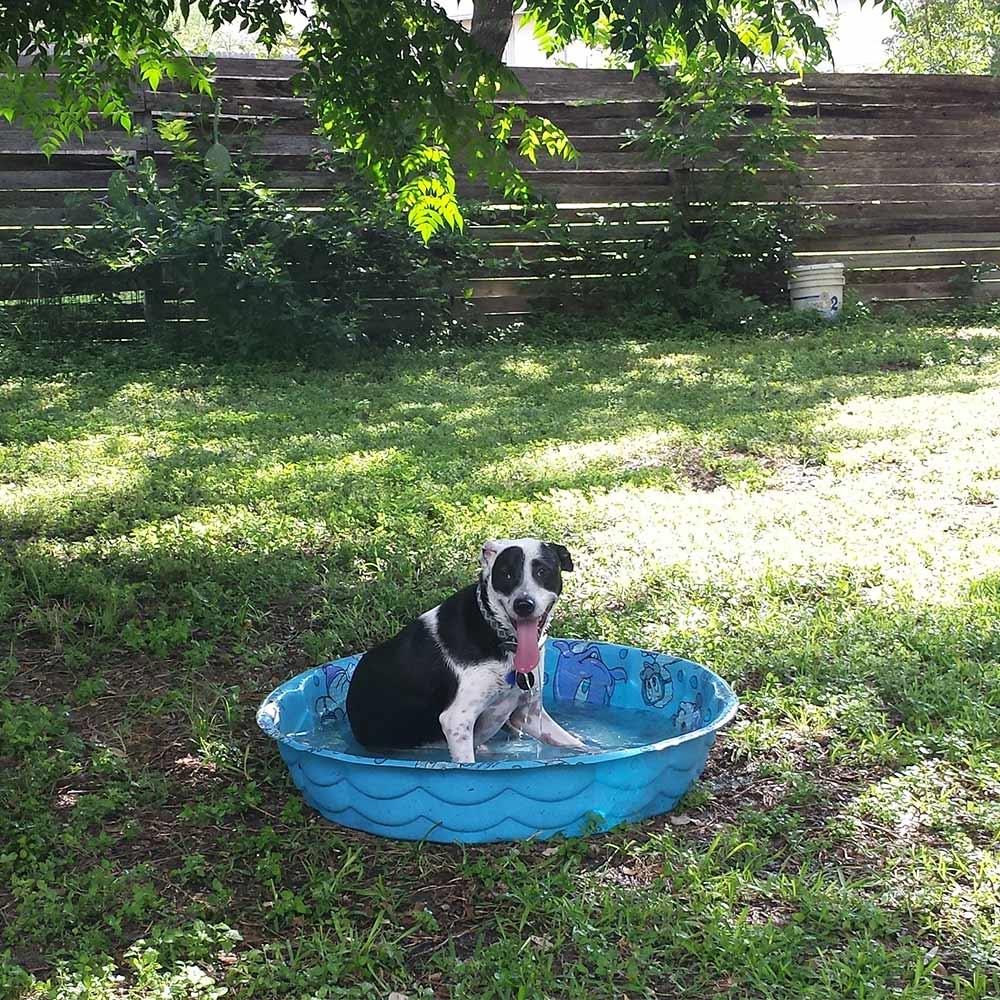 Shiner's relaxing, hanging out in the pool! Bianca in Live Oak, TX sent a picture of Shiner, cooling off in the kiddie pool, after running around the backyard.