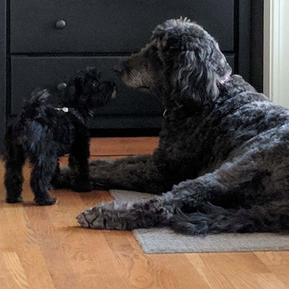 Marian H. sent a picture of her Yorkie-Poo, Winni, and Golden-Doodle, Harvey, a 110-pound gentle giant, meeting face to face and seeing eye to eye.