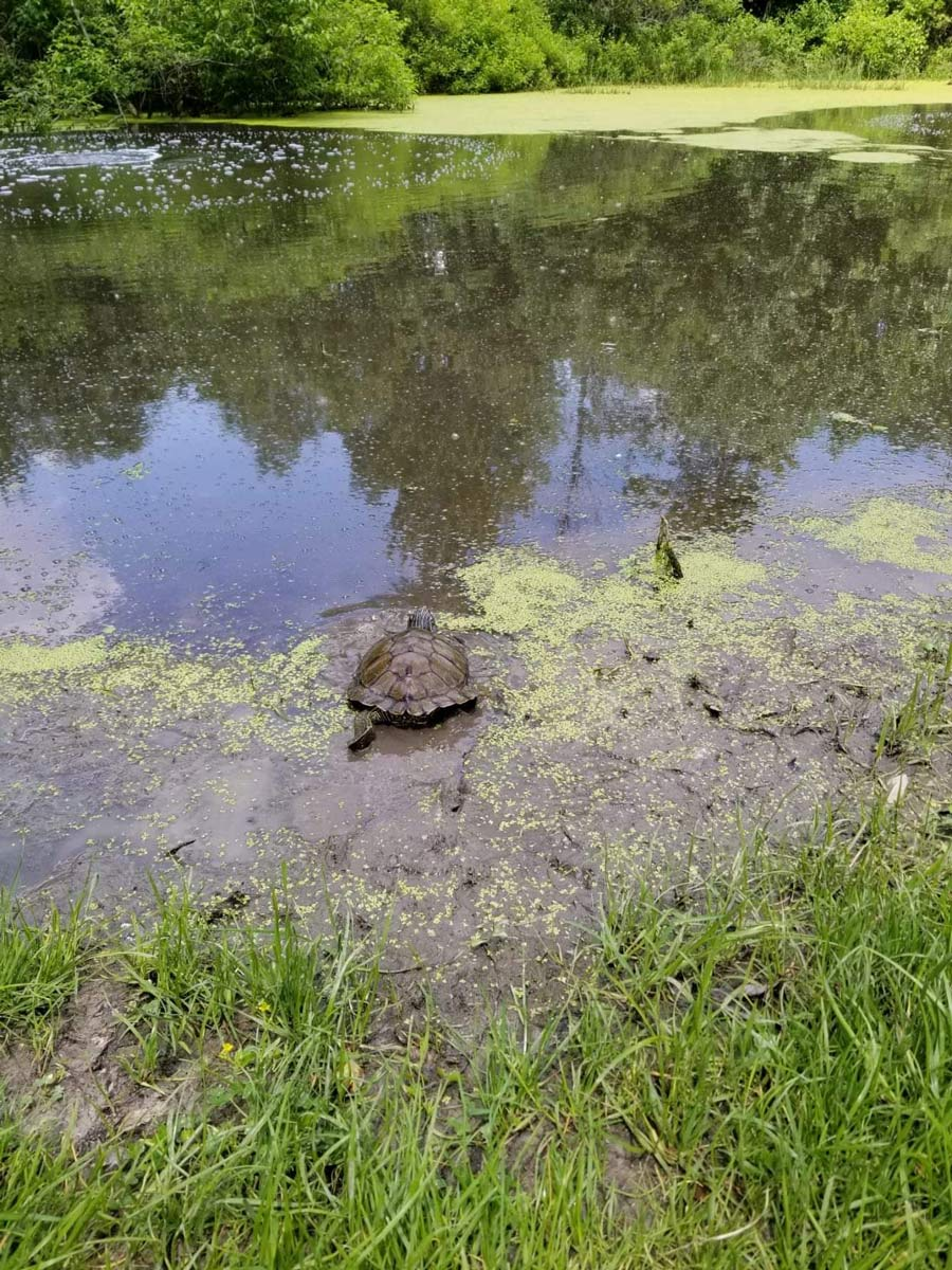 A restaurant patron in Syracuse, Indiana snapped this picture of a curious turtle scurrying back into one of the many lakes in the area.