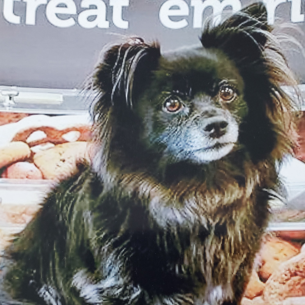 Meet Pamela F. In Grenada Hills CA's Daisy. Daisy's a nine-year-old inky Pomeranian and Chihuahua mix. Pamela takes Daisy everywhere, and Daisy's loved by all who meet her.