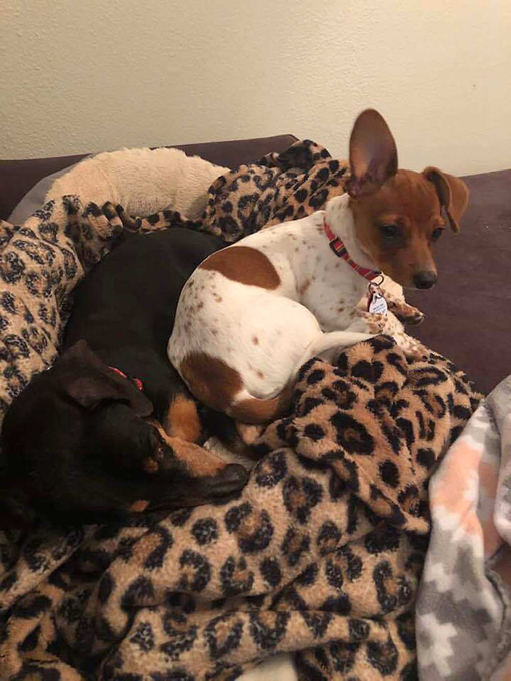 Cheryl G. In San Antonio adopted Melania, a four-month-old, five-pound half Piebald and half Chihuahua from a Rescue Group.