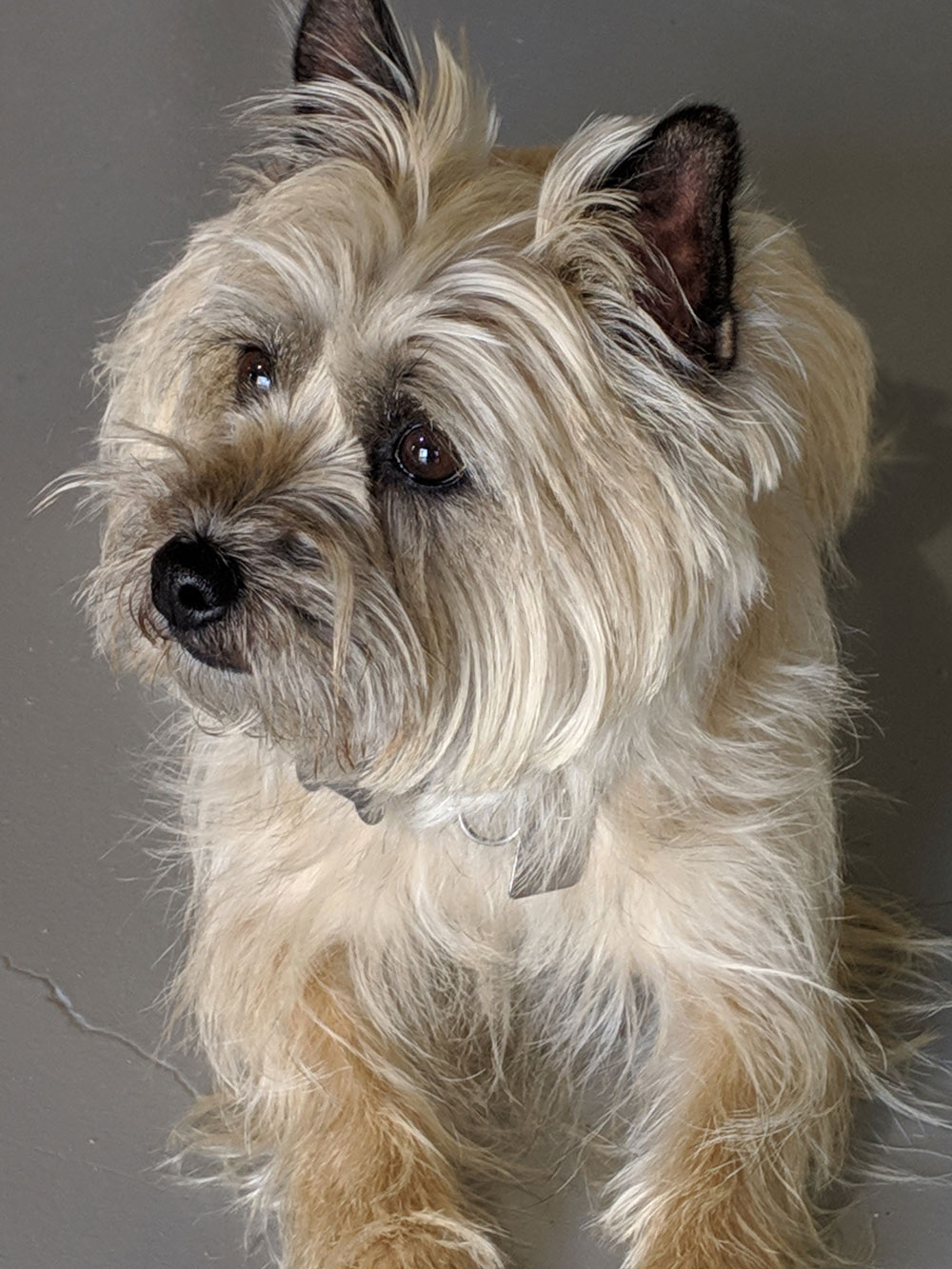 Meet Skyler. She's a five-year-old Cairn Terrier that Jack and Diane adopted a year and a half ago. She is smart and loves training; they adore her!