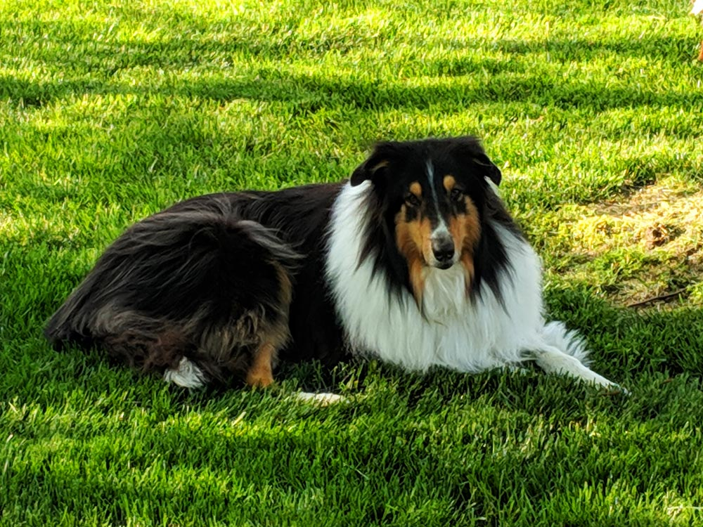 """Meet Colleen C.'s beautiful Rough Collie, her pride and joy, her sweetest boy, Bouchal (pronounced boo-kul). The word is Gaelic and it means """"boy"""" (the word """"bucko"""" is a derivative)."""