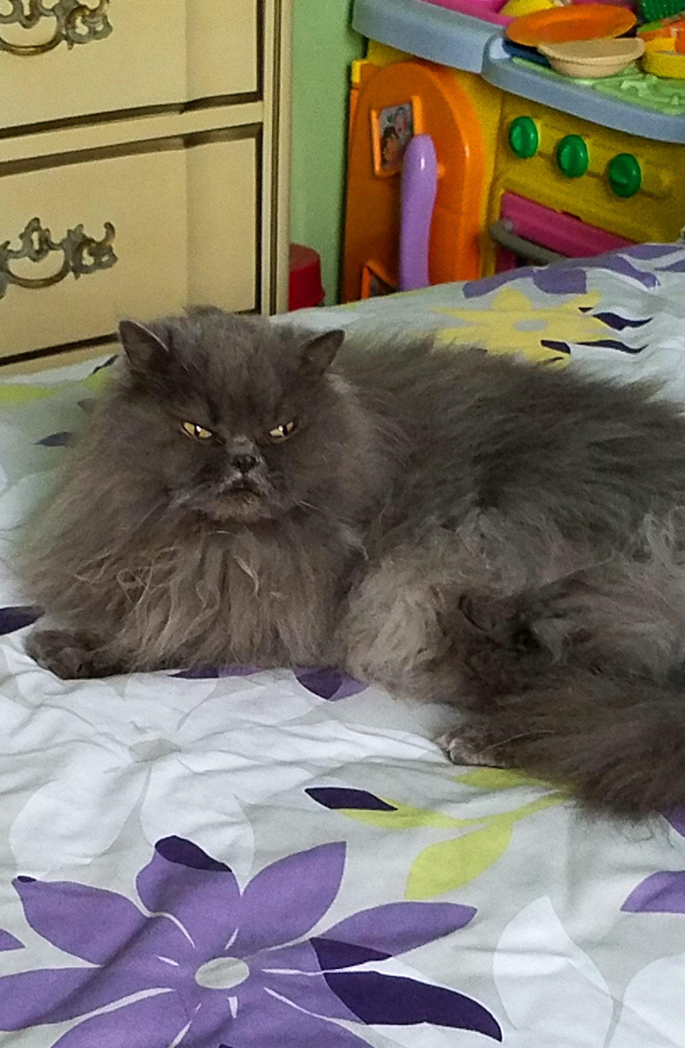 Meet Bleu Boy and Boots. Bleu is a Doll-Face Persian. He is 8 yrs old.
