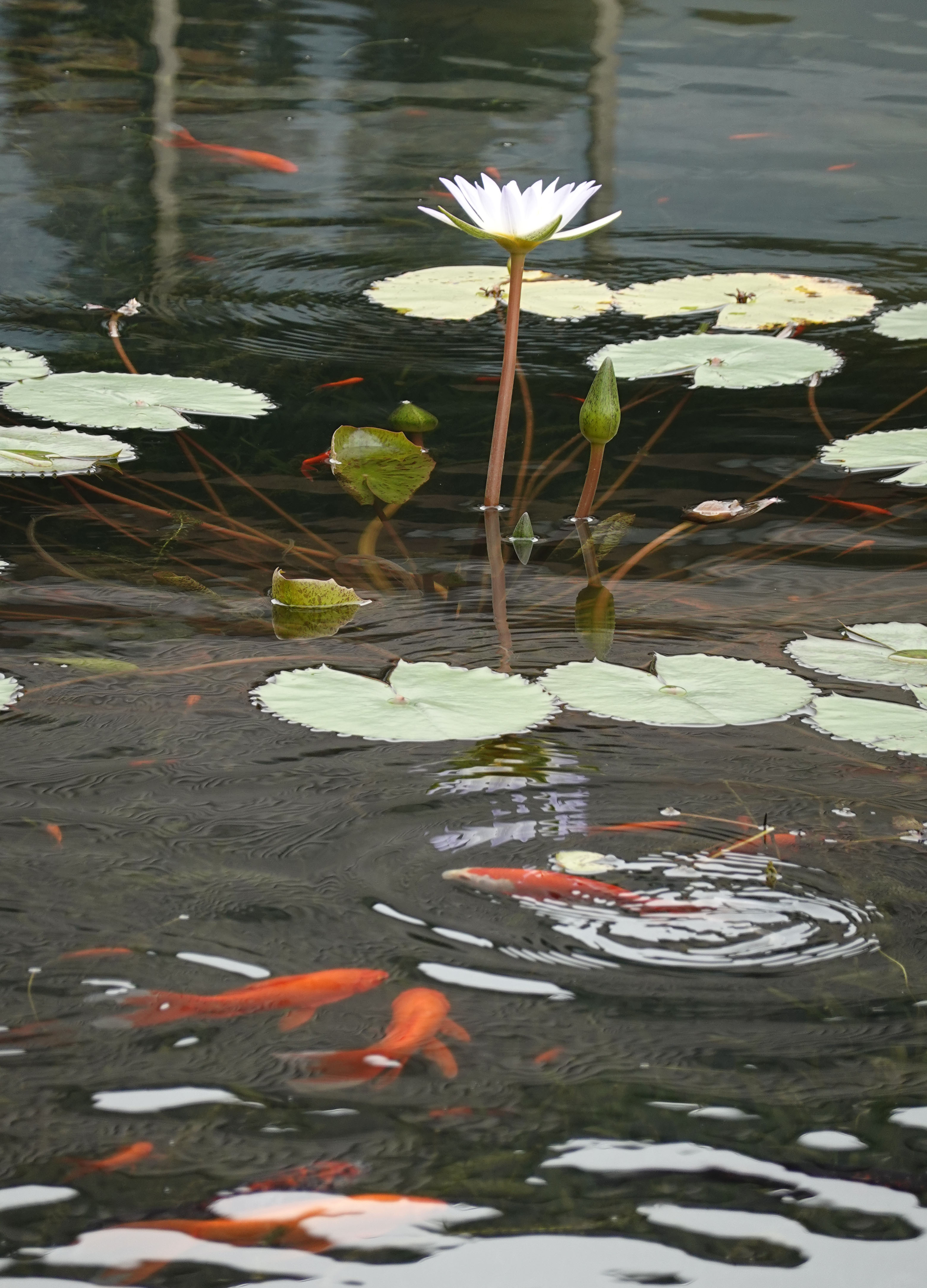 Lotus and gold fish, modified