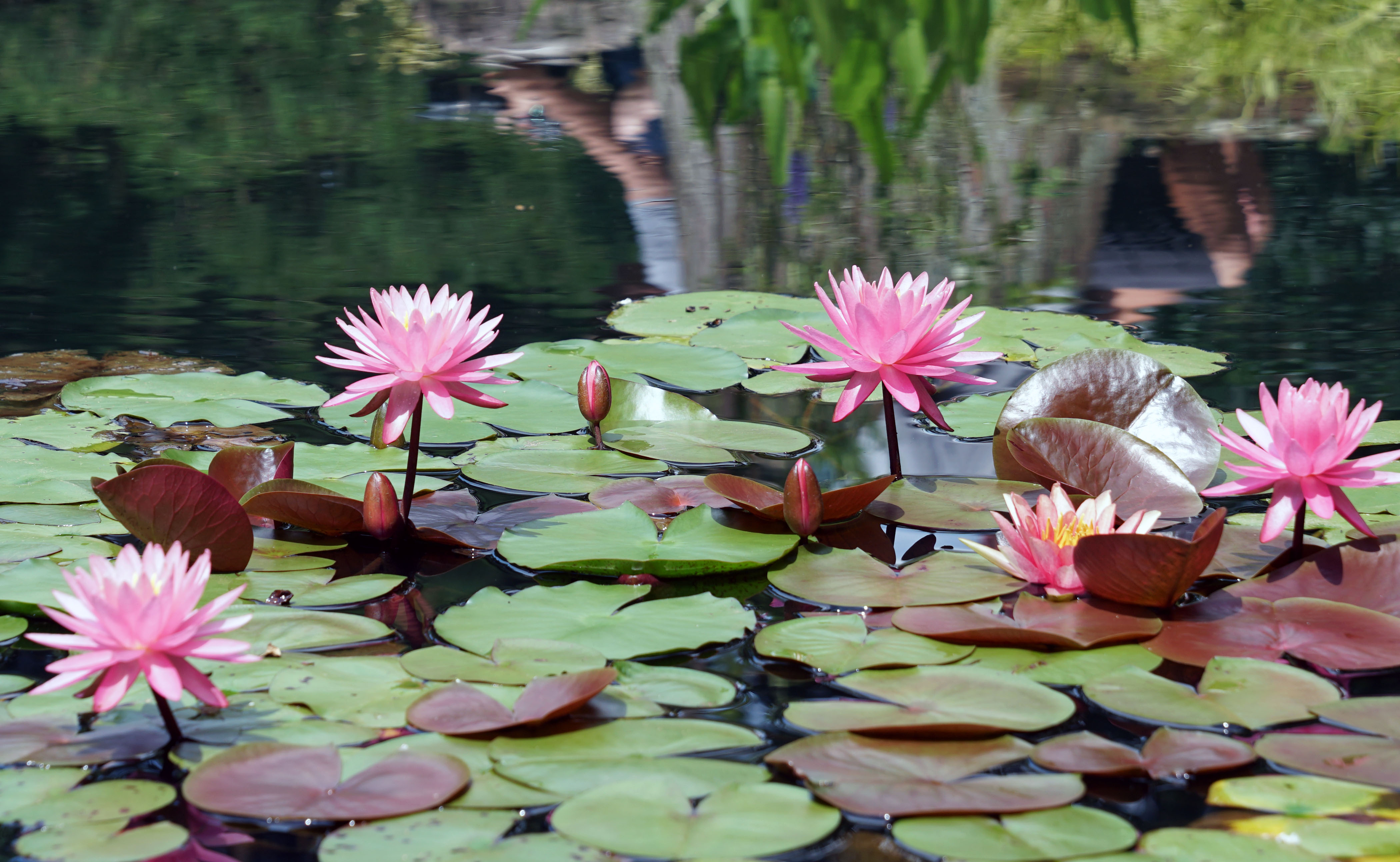 red water lily, modified