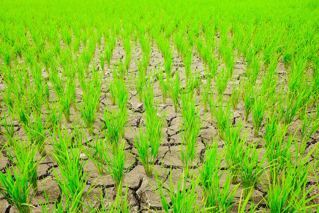 Gene Editing for Climate Change - Rice Field