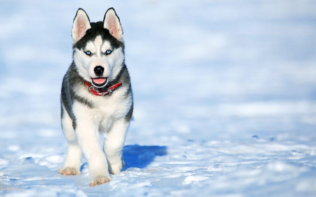 Capnocytophaga Complications From Dog Bites