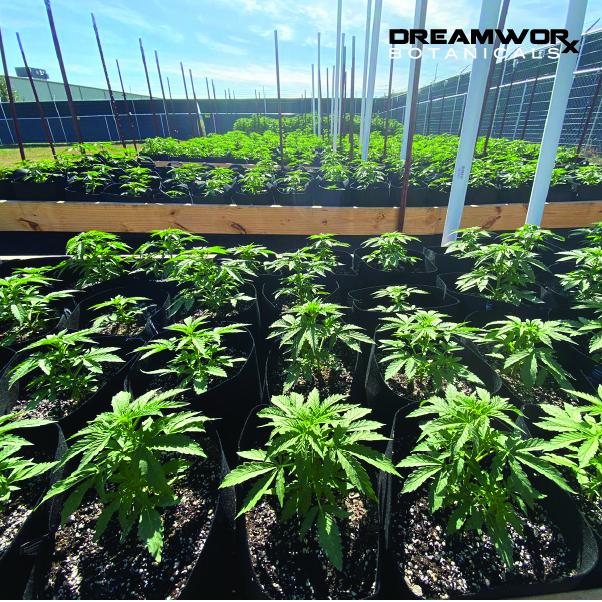 Where To Buy CBD Flower Near Me In Oklahoma City - DreamWoRx' Full Spectrum Relax - DreamWoRx CBD Flower Near Me In OKC- Full Spectrum