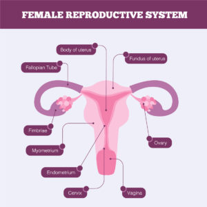 Female Reproductive System Infographic