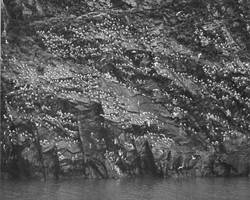Kittiwake Bird Rookery Near Whittier, Alaska, copyright 1971 Philip Hyde.
