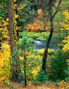 Riffle Through Woods, Plumas County, Northern Sierra, California (Vertical Version) copyright 1983 by Philip Hyde. This view of Indian Creek is from the roof of the Hyde home they named Rough Rock. It is essentially the same view the Hydes watched wildlife through from the dining room table and living room beginning when the house was completed in 1959.